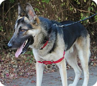 German Shepherd Dog Dog for adoption in Los Angeles, California - Thor