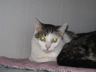 Domestic Shorthair Cat for adoption in Sherman Oaks, California - Darcy - sponsor only