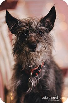 Chinese Crested/Schnauzer (Miniature) Mix Dog for adoption in Portland, Oregon - Russell