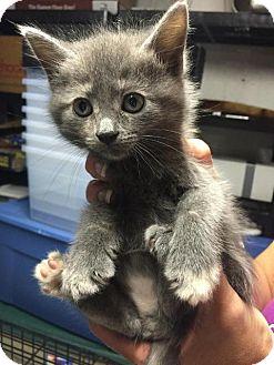 Russian Blue Kitten for adoption in Orland Park, Illinois - Kristin