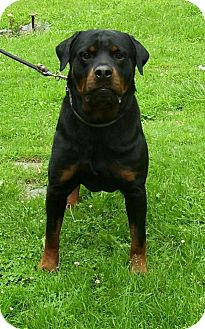 Rottweiler Dog for adoption in Rexford, New York - Tango