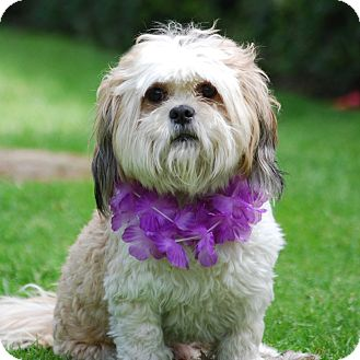 Lhasa Apso Mix Dog for adoption in Los Angeles, California - WALTER