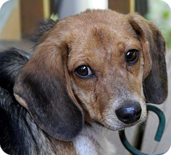 Beagle Mix Dog for adoption in Wayne, New Jersey - Sawyer