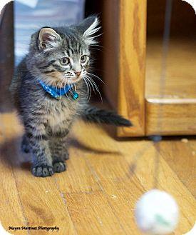 Domestic Shorthair Kitten for adoption in Huntsville, Alabama - Birdie