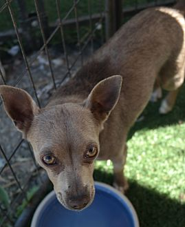 Chihuahua Mix Dog for adoption in San Pablo, California - FAWN