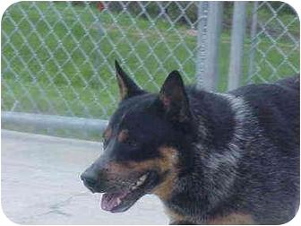 Blue Heeler Dog for adoption in Burnsville, North Carolina - Dean
