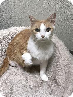 Domestic Mediumhair Cat for adoption in Redding, California - Flower--Three legs