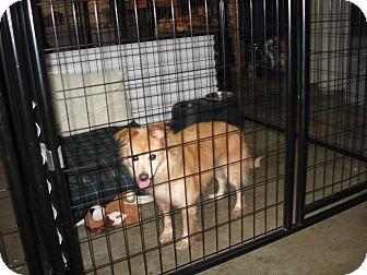 Shepherd (Unknown Type)/Pomeranian Mix Dog for adoption in Port Clinton, Ohio - TERESA