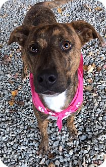 Pit Bull Terrier Mix Dog for adoption in Greensboro, North Carolina - Princess