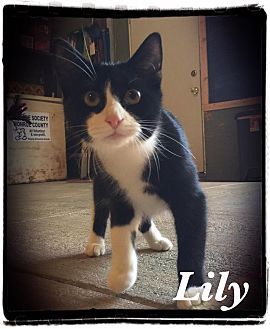 Domestic Shorthair Cat for adoption in Woodsfield, Ohio - Lilly