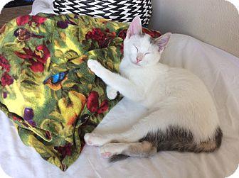 Domestic Shorthair Kitten for adoption in Seattle, Washington - Darwin