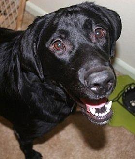 Labrador Retriever Dog for adoption in Broomfield, Colorado - Layla