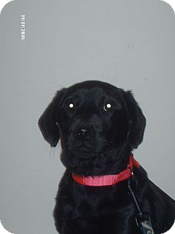 Labrador Retriever Puppy for adoption in PRINCETON, Kentucky - PANDA/NH