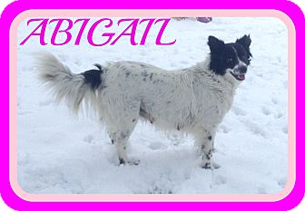 Border Collie Mix Dog for adoption in Mount Royal, Quebec - ABIGAIL
