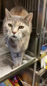Domestic Shorthair/Domestic Shorthair Mix Cat for adoption in Cleveland, Mississippi - PRISSY