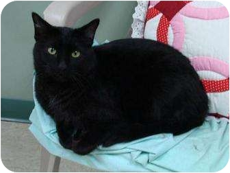 Domestic Shorthair Cat for adoption in Houghton, Michigan - Coal
