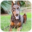 Photo 2 - Doberman Pinscher Dog for adoption in Santee, California - Jonas