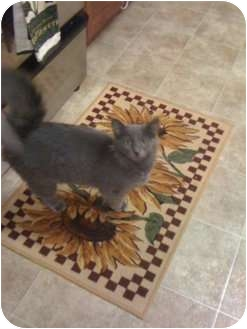 Russian Blue Cat for adoption in Mobile, Alabama - Bonnie