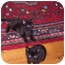 Photo 2 - Domestic Shorthair Cat for adoption in Medford, New Jersey - Hocus Pocus