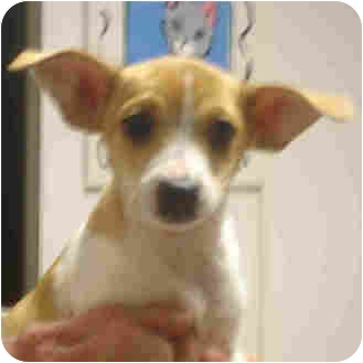Jack Russell Terrier/Chihuahua Mix Puppy for adoption in Manassas, Virginia - scruffy