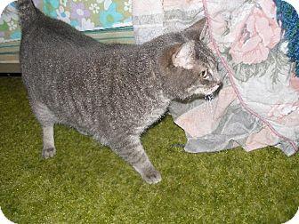 Domestic Shorthair Cat for adoption in Laguna Woods, California - Tiger Rose