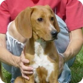 Redbone Coonhound Mix Puppy for adoption in North Wilkesboro, North Carolina - Slim