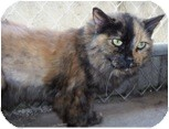 Domestic Mediumhair Cat for adoption in El Cajon, California - Calico