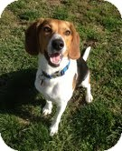 Beagle/Treeing Walker Coonhound Mix Dog for adoption in High Ridge, Missouri - Mickey