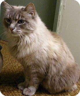 Siamese Cat for adoption in Quincy, California - Victoria