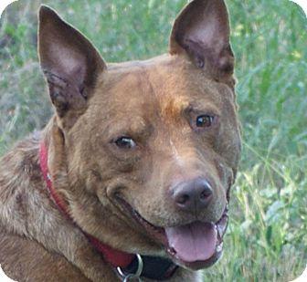 Australian Cattle Dog/Labrador Retriever Mix Dog for adoption in Kirkland, Washington - Mr. Brownstone - Social, Happy