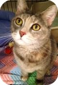 Domestic Shorthair Cat for adoption in Livonia, Michigan - Maybelle