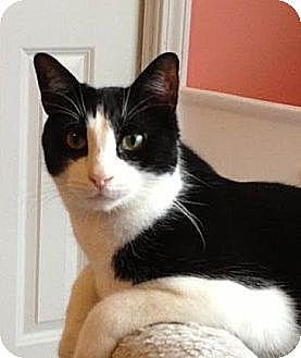 Domestic Shorthair Cat for adoption in Smyrna, Georgia - Dirk