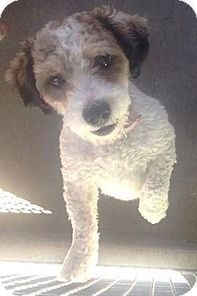 Poodle (Miniature) Mix Dog for adoption in Encino, California - Pumpkin Pie