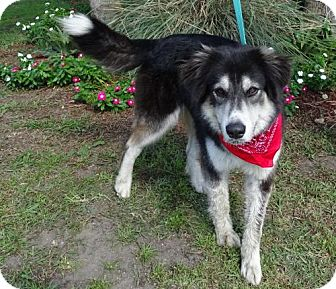 Alaskan Malamute Mix Dog for adoption in Port St. Joe, Florida - Sheba