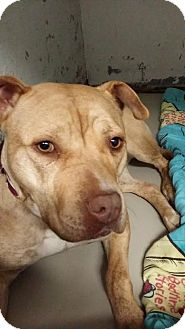 Pit Bull Terrier Mix Dog for adoption in Monroe, Michigan - Momma T