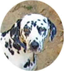 Dalmatian Dog for adoption in Mandeville Canyon, California - Lola