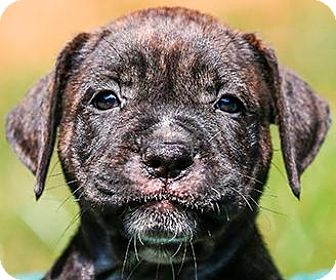 Labrador Retriever/Hound (Unknown Type) Mix Puppy for adoption in Cary, North Carolina - Leah