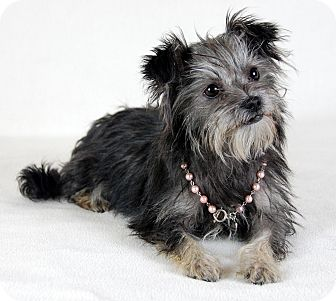 Schnauzer (Standard) Mix Puppy for adoption in Jackson, Mississippi - Diamond