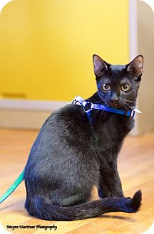 Domestic Shorthair Kitten for adoption in Knoxville, Tennessee - Splish