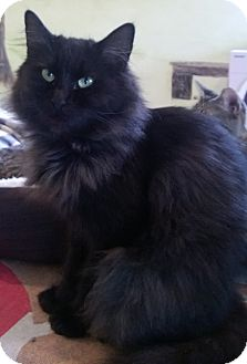 Domestic Longhair Cat for adoption in Foster, Rhode Island - Mama Blackie (POM-CW)