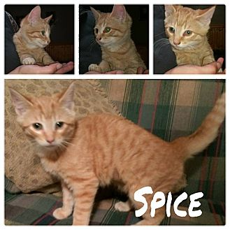 Domestic Shorthair Kitten for adoption in Salamanca, New York - Spice