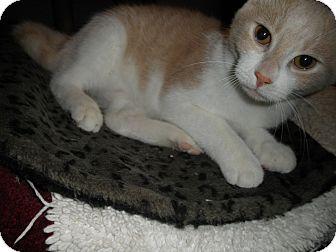 Domestic Shorthair Cat for adoption in Milwaukee, Wisconsin - Zircon
