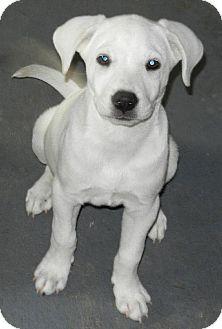 Labrador Retriever Puppy for adoption in Cedar Creek, Texas - Moon