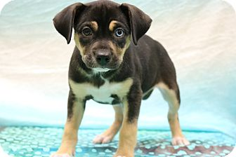 Labrador Retriever/Husky Mix Puppy for adoption in Allentown, Pennsylvania - Storm