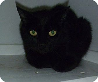 Domestic Shorthair Cat for adoption in Hamburg, New York - Tabitha Lynn