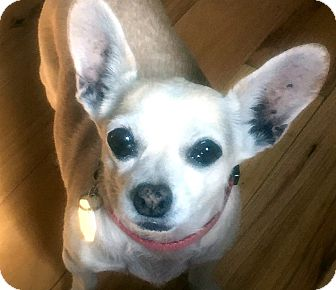 Chihuahua Mix Dog for adoption in Tijeras, New Mexico - Sandy