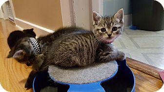Domestic Shorthair Kitten for adoption in Pottstown, Pennsylvania - Fang