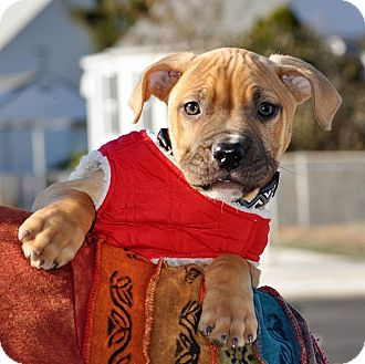 American Pit Bull Terrier Mix Puppy for adoption in Reisterstown, Maryland - Wallace