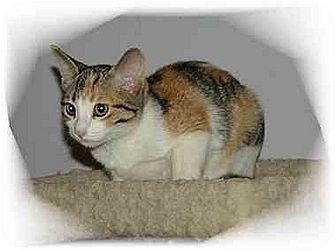 Domestic Shorthair Cat for adoption in Montgomery, Illinois - Bonnie