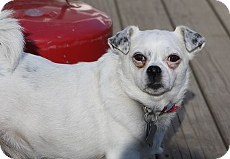 Chihuahua/Pug Mix Dog for adoption in Hayes, Virginia - Poppy